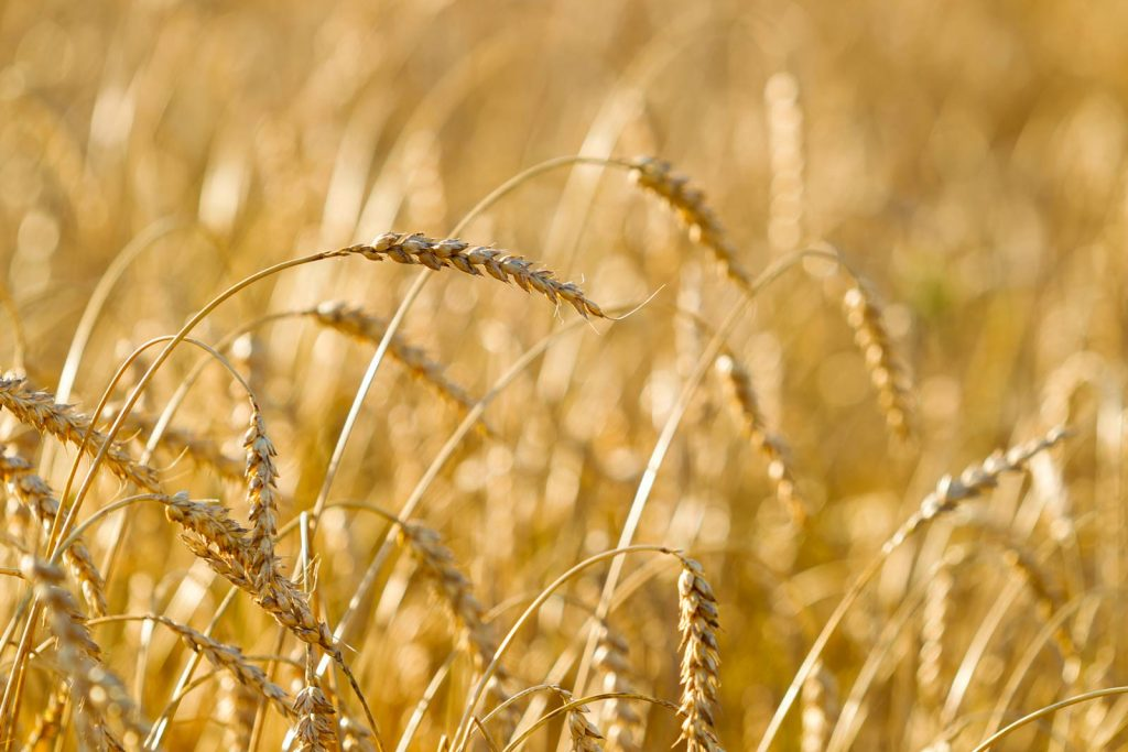wheat-field-on-a-summer-sunny-day-PSGRB9M